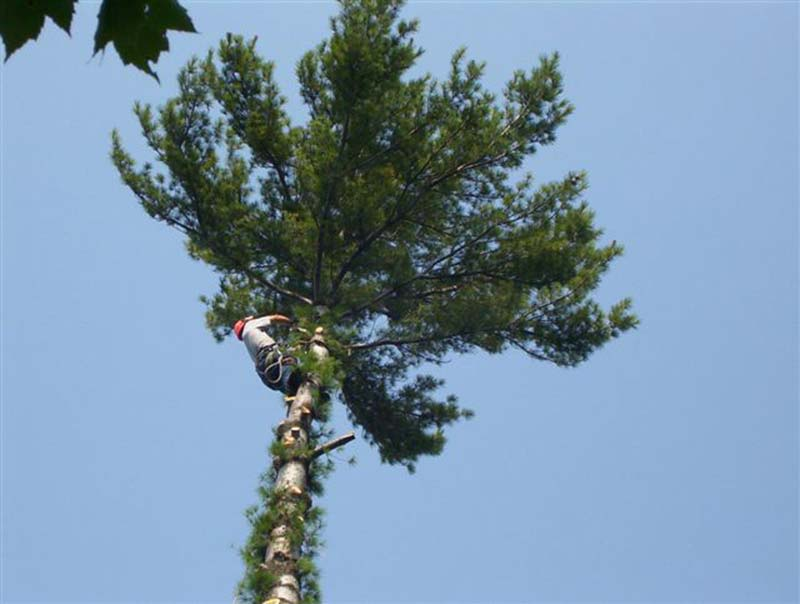 man in pine tree